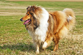 American true-bred collie — 图库照片