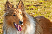 American true-bred collie — ストック写真