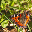 Stock Photo: Small tortoiseshell, Nymphalis urticae