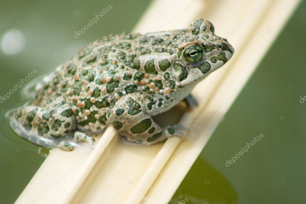 Portrait of green frogs — Stock Photo #10110666