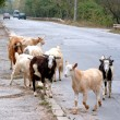 Stock Photo: Goats are on carriageway.
