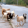 Goats are on the carriageway. — Stock Photo