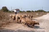 羊の放牧地の群れ追放マスター. — ストック写真