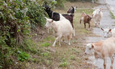 A small herd of goats is coming along the road and look for the feed. — Stock Photo