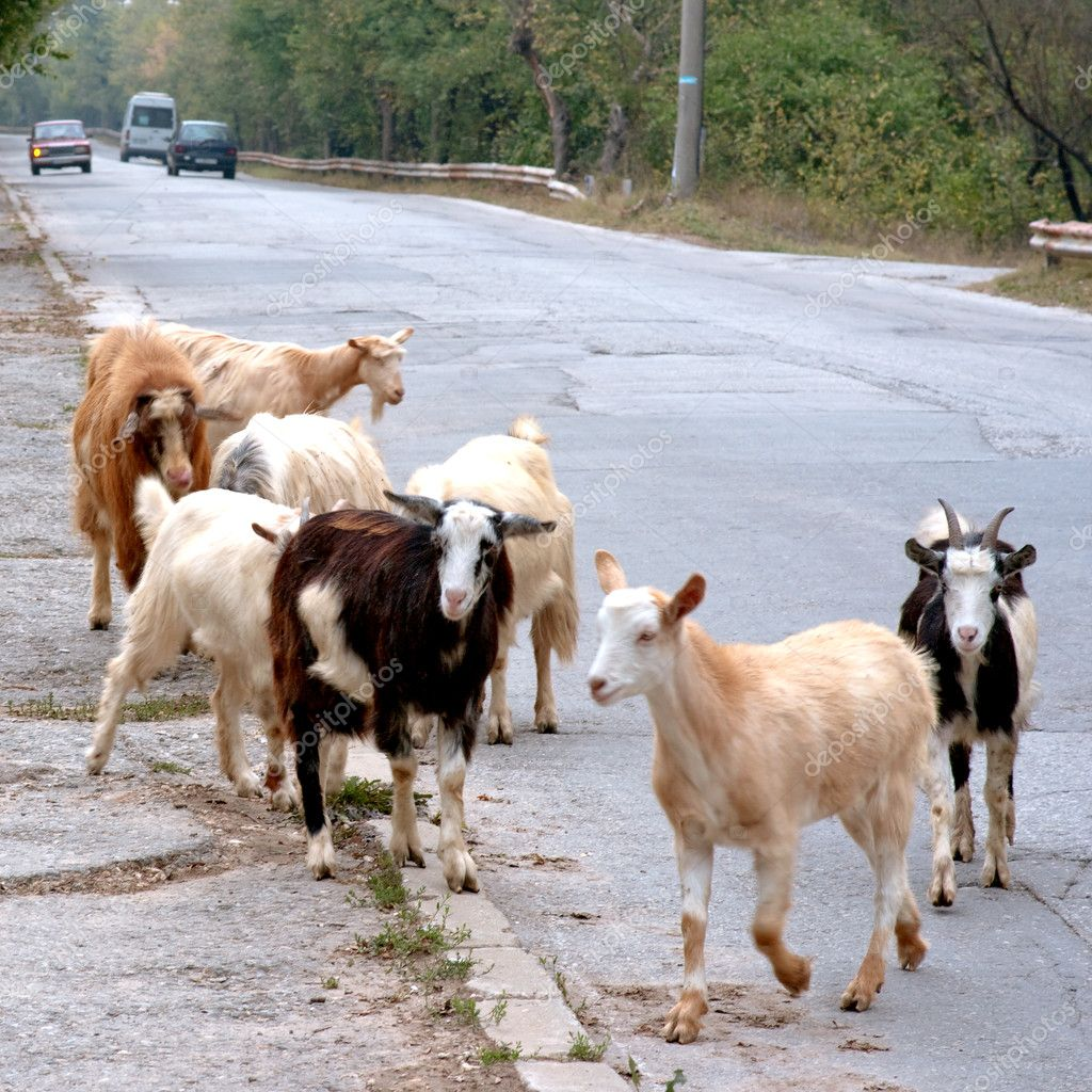Part of the herd of goats took to the road on which vehicles are moving.  Stock Photo #9043724