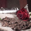 Red rose on coffee beans — Stock Photo