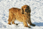 Dog on snow — Stock Photo