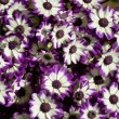 Stock Photo: Purple Cineraria