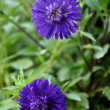 Foto Stock: Asters Amidst Greenery