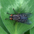 Insect fly - Stock Photo