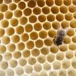 Bee fills honeycombs — Stock Photo