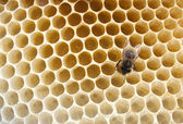 Bee fills honeycombs — 图库照片