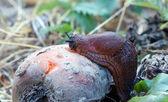 Kırmızı slug — Stok fotoğraf
