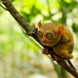 Tarsier — Stock Photo #8805513