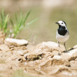 Royalty-Free Stock Photo: Wagtail
