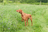 Vizsla Dog (Hungarian Pointer) Pointing in a Field — Stock Photo