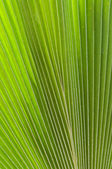 Palm Frond Texture — Stock Photo