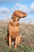 Vizsla Dog in a Field — Stock Photo
