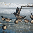 Canada Geese (Branta canadensis) on an icy pond in winter. — Stock Photo #9107764