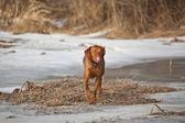 Hundvalp (sittande) hund i ett vinter-fält — Stockfoto