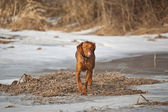 Vizsla hund in ein winter-feld — Stockfoto