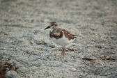 Sandpiper on a Florida Beach — Stock Photo