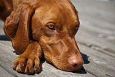 Vizsla Dog Closeup — Stock Photo