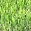 Young rice plant in natural field. — Stock Photo