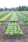 緑の野菜ファーム ビューの垂直方向の線. — ストック写真
