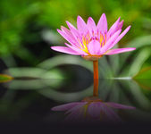 Lotus (Water Lily) with reflection — Stock Photo