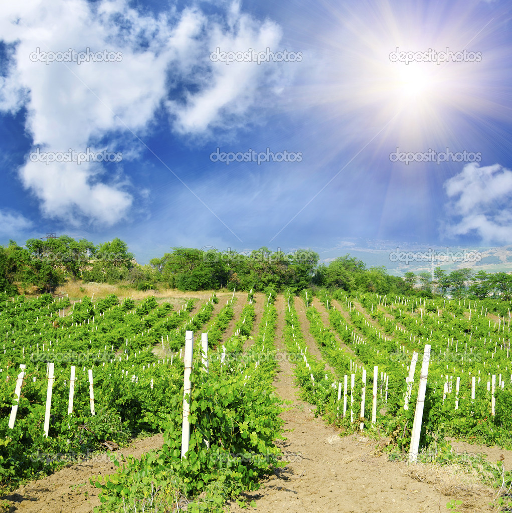 Vineyard — Stock Photo #9558990
