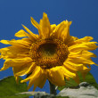 Stock Photo: Sunflower against the dark blue sky