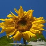 Sunflower against the dark blue sky — Stock Photo