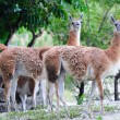 Guanaco — Stock Photo #9858939