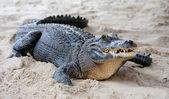 Alligator closeup on sand — Stock Photo