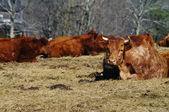 Cattle in the field — Stock Photo