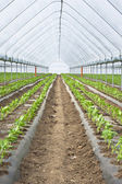 Organic farming, paprika in greenhouse — Stock Photo
