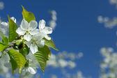 Fiori di ciliegio bianchi — Foto Stock