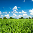 Green wheat field on cloudy blue sky — Stock Photo