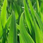 Green iris leaves — Stock Photo
