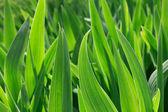 Listy zelené iris — Stock fotografie