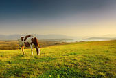 A cow grazing on the background of mountain scenery — Stock Photo
