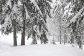 Trees in the snow in the forest in winter — Stock fotografie