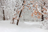 Trees in the snow in the forest in winter — Stok fotoğraf