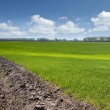Green field with young wheat with blue sky — Stok Fotoğraf #8983494