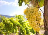 Vineyard on a background of mountains — Stock Photo
