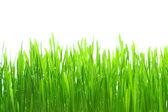 Dew on grass on the white — Stock Photo