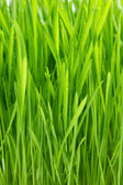 Dew on grass on the white background — Stock Photo