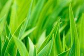 Green iris leaves close-up — Stock Photo