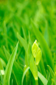 Green leaves and a bud iris close-up — Stock Photo
